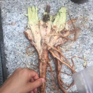 6 トロロアオイの根